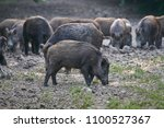 Herd Of Wild Hogs Rooting In...