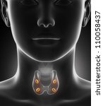 parathyroid gland anatomy | Shutterstock . vector #110058437