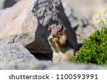 A Golden Mantled Squirrel...
