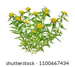 rhodiola rosea plant  commonly... | Shutterstock . vector #1100667434