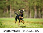 Stock photo german pinscher dog running in a summer meadow 1100668127