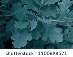 Spring Oak Blue Leaves...