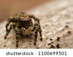 Jumping Spider  Macro Picture...