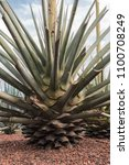 Small photo of Agave Tequilana Weber Variedad Azul Mexico (Blue Agave)