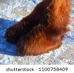 Small photo of Camel leg is an ungulate within the genus Camelus, bearing distinctive fatty deposits known as humps on its back. There are 2 species of camels: the dromedary l has a 1 hump, and the bactrian has 2 hu