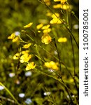 Small photo of buttercups growing wild in meadow - differential focus