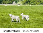 happy little cute new born lams ... | Shutterstock . vector #1100790821