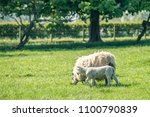 new born lamb with a mother... | Shutterstock . vector #1100790839