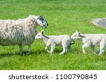 little cute new born lambs... | Shutterstock . vector #1100790845
