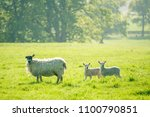 little cute new born lambs with ... | Shutterstock . vector #1100790851