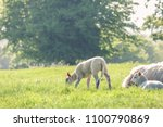 little cute baby lamb on a... | Shutterstock . vector #1100790869