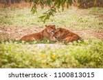 a couple of lioness' licking...   Shutterstock . vector #1100813015