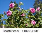beautiful rose for screen saver ... | Shutterstock . vector #1100819639