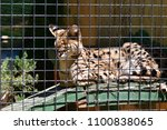 serval in a southern california ... | Shutterstock . vector #1100838065