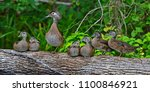 wood duck with ducklings silver ...   Shutterstock . vector #1100846921