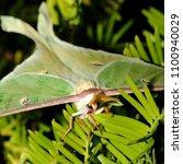 luna moth   close up photograph ... | Shutterstock . vector #1100940029