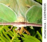 luna moth   close up photograph ... | Shutterstock . vector #1100940035