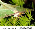 luna moth   close up photograph ... | Shutterstock . vector #1100940041