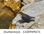 the white throated dipper ... | Shutterstock . vector #1100949671