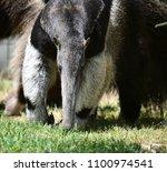 anteater in the zoo | Shutterstock . vector #1100974541
