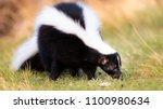 Skunk in Grass, Warm Colors. Striped Skunk portrait