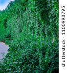 Small photo of Virginia creeper(Parthenocissus quinquefolia) - covers the entire wall