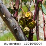 large decorative seed pods  or... | Shutterstock . vector #1101040004