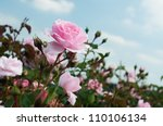 Stock photo field of pink roses rosaceae 110106134