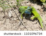 lizards fighting playing in the ... | Shutterstock . vector #1101096734