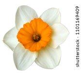 flower white orange  narcissus... | Shutterstock . vector #1101169409