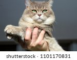 close up of british cat without ... | Shutterstock . vector #1101170831