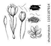 saffron flower drawing. hand... | Shutterstock . vector #1101187814