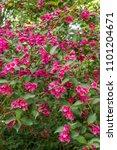 old fashioned weigela  weigela... | Shutterstock . vector #1101204671