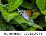 fluffy tit butterfly.  ... | Shutterstock . vector #1101219131