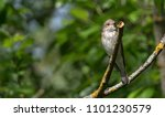 curious nightingale nestling | Shutterstock . vector #1101230579
