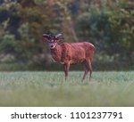 mature red deer stag with... | Shutterstock . vector #1101237791