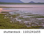 White egrets and other wading birds in the coast of Cairns, Queensland, Australia.
