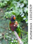 the black capped lory  lorius...   Shutterstock . vector #110125529