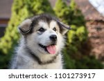 Stock photo alaskan malamute puppy posing outside small malamute in kennel 1101273917