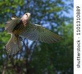 eurasian kestrel in flight   Shutterstock . vector #1101310889