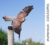 eurasian kestrel in flight   Shutterstock . vector #1101310901