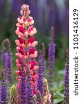 stunning pink and red lupin... | Shutterstock . vector #1101416129