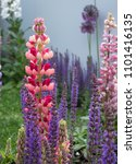 stunning pink and red lupin... | Shutterstock . vector #1101416135