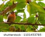 finch bird on branch   Shutterstock . vector #1101453785