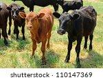 Angus Cross Calves Grazing In ...