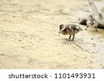 little brown and yellow... | Shutterstock . vector #1101493931