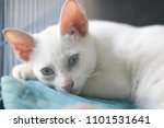 Small photo of The castrate of real Pure-White cat breed of Thailand, take a rest in the cage.