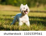 West Highland White Terrier In...