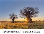 sunrise at baines baobab... | Shutterstock . vector #1101552131