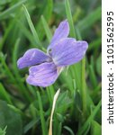 Small photo of flowers of wood violet, Viola odorata